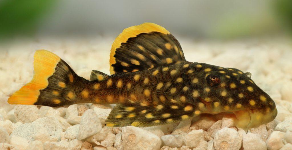 L-Wels Baryancistrus xanthellus (L 18 / LDA 60)